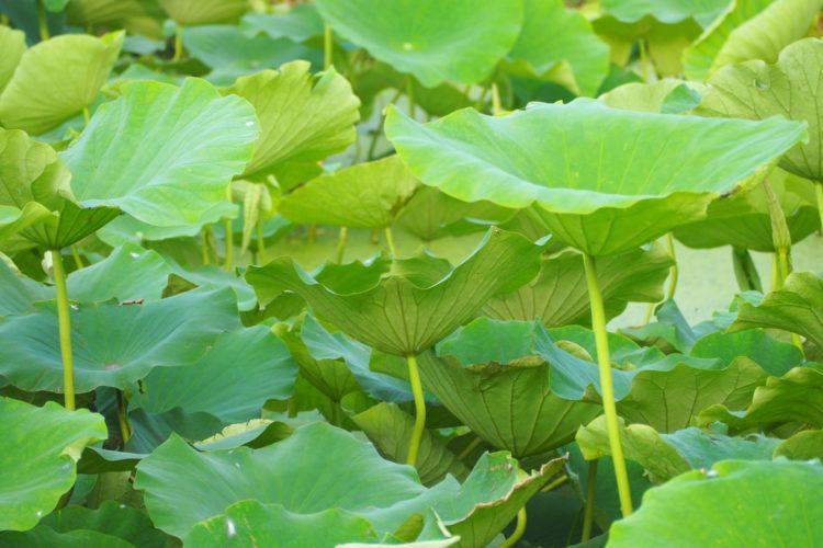 レンコン収穫量日本一!